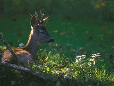 A3 - Sperimentazione di metodologie di monitoraggio della popolazione di cervo (Cervus elaphus) e capriolo (Capreolus capreolus)