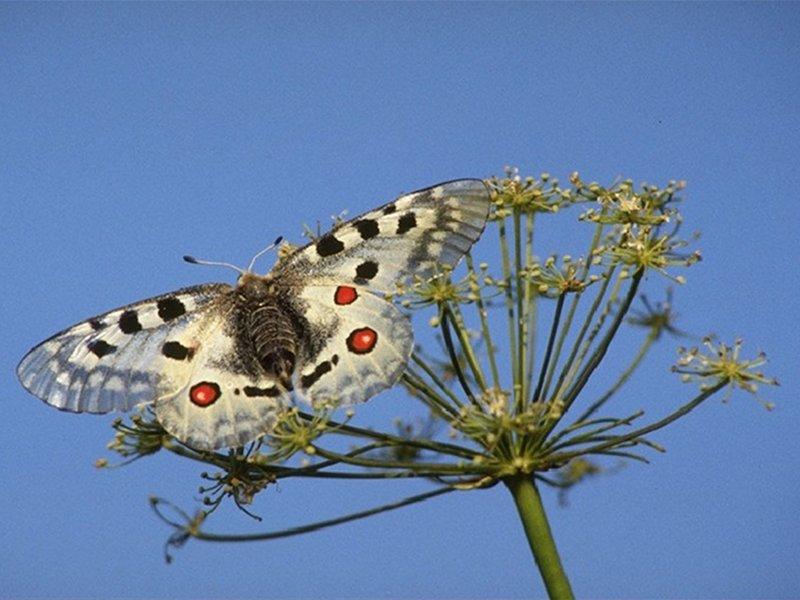 Farfalle delle Alpi Orientali. Conoscere e identificare le specie del Nord Est Italia