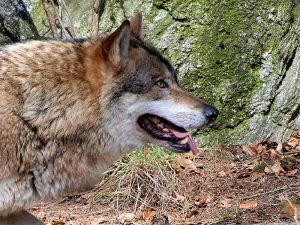 LIFE Wolfalps: Corso di formazione per i docenti